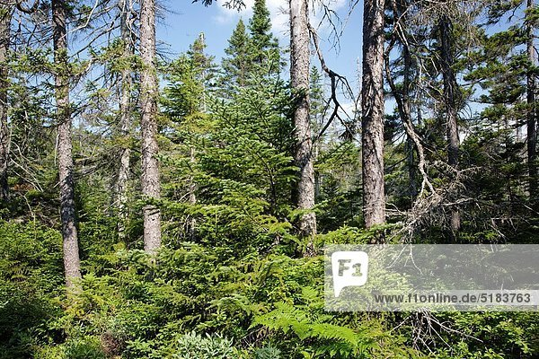 Vereinigte Staaten von Amerika  USA  Landschaftlich schön  landschaftlich reizvoll  Berg  Wald  weiß  Bach  Beispiel  Zimmer  Fichte  Tanne  Hampshire  Nancy  neu