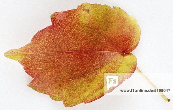 Wilder Wein  Junges  Gelbes Herbstblatt