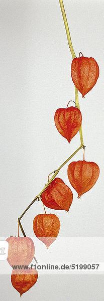 Physalis-Früchte ein Zweig Physalis-Früchte ein Zweig