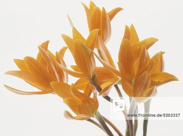 Orchidee  Cattleya Aurantiaca  orange
