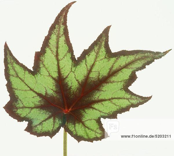 Herbstblatt  Grün Und Rot  Rexbegonie