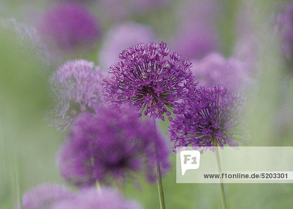 Zierlauch  violette Blüten