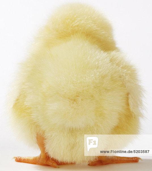 Hühnerküken  von hinten Hühnerküken, von hinten
