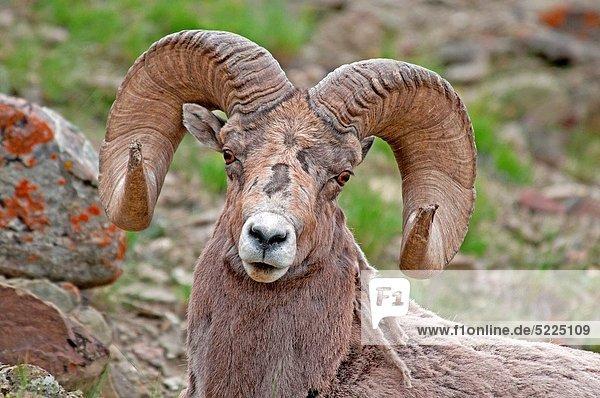 nahe  Rettung  Schaf  Ovis aries  Bach  Berg  Yellowstone Nationalpark  Dickhornschaf  Ovis canadensis