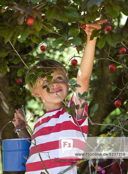 Außenaufnahme  Junge - Person  ungestüm  aufheben  Pflaume  freie Natur