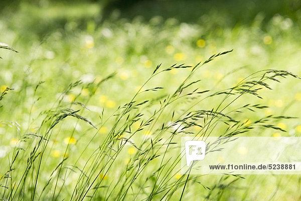 Hohe Gras im wind