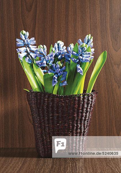 Blaue Hyazinthen in Weidenkorb vor Holzhintergrund