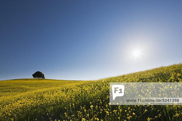 Italien  Toskana  Blick auf einzelnen Laubbaum im Rapsfeld