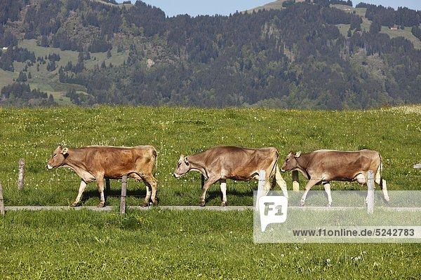 Germany  Bavaria  Swabia  Allgaeu  Oberallg_§u  Oberstdorf  Three cows walking on meadow