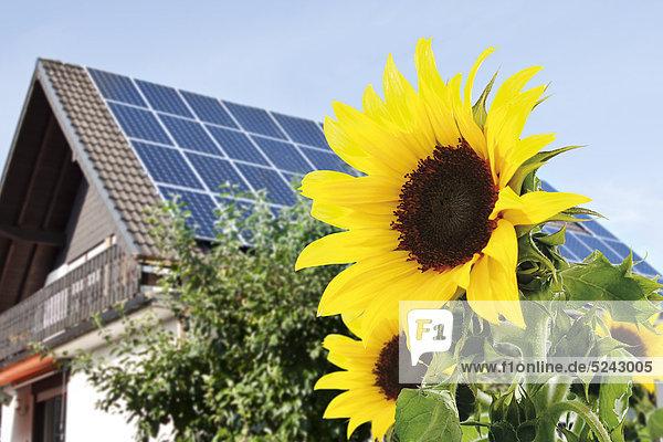 Deutschland  Köln  Sonnenblumen vor dem Haus mit Sonnenkollektoren