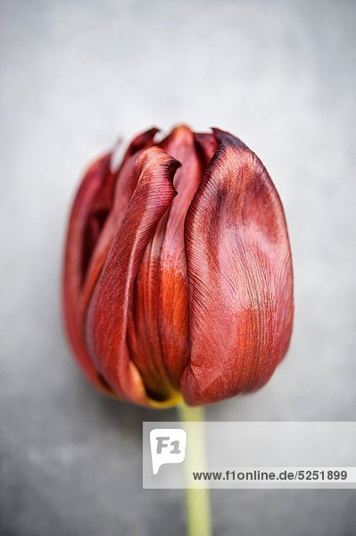 Blume Hintergrund rot grau Tulpe