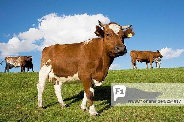 Hausrind  Hausrinder  Kuh  Deutschland  Schleswig-Holstein