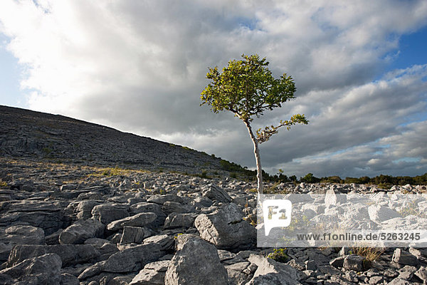 Lone Tree auf dem Burren  Co. Clare  Irland