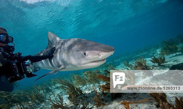 Taucher berührt Tigerhai