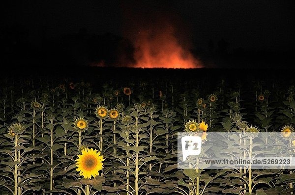 Rauch  Hintergrund  Feld  Sonnenblume  helianthus annuus  Maharashtra
