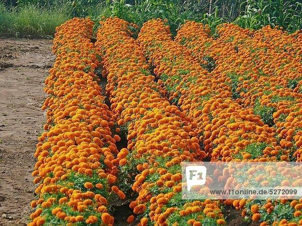 Field of Marigold flower  Calendula officinalis LINN