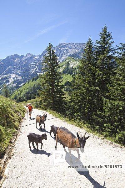 Frau und Ziegenfamilie auf einem Wanderweg in den Alpen  Berchtesgaden  Deutschland