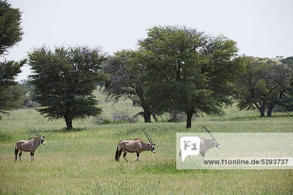 Oryxantilopen  Oryx gazella  Kgalagadi-Transfrontier-Park  Botswana  Südafrika  Afrika