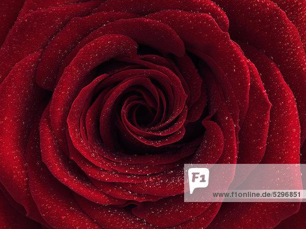 Rote Rose (Rosa) mit Wassertropfen auf den Bl¸tenbl‰ttern  Nahaufnahme