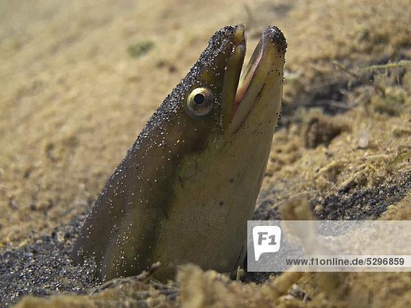 Europ‰ischer Aal (Anguilla anguilla)  Raubaal  blickt aus seiner Sandhˆhle  Helenesee  bei Frankfurt an der Oder  Brandenburg  Deutschland  Europa