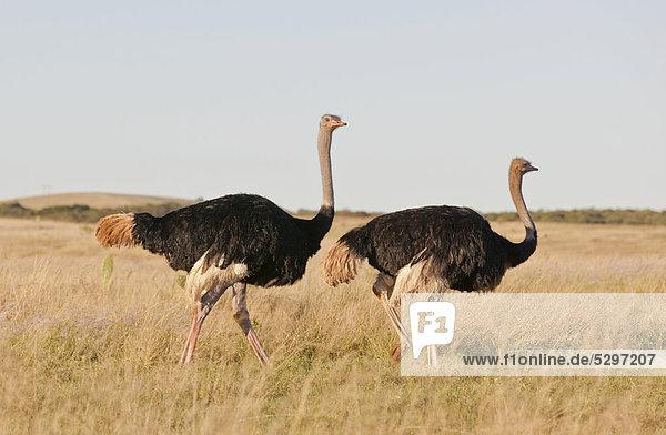 Afrikanischer Strau_ (Struthio camelus)  Paar  Addo Elephant Park  S¸dafrika  Afrika