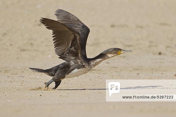 Kapscharbe (Phalacrocorax capensis)  Wilderness National Park  S¸dafrika  Afrika