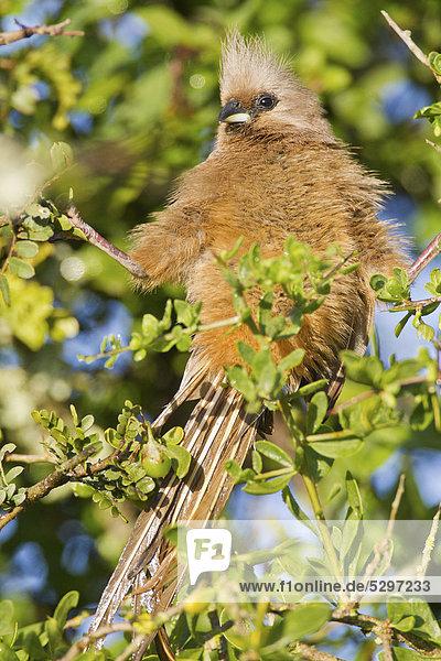 Braunfl¸gel-Mausvogel (Colius striatus)  Addo Elephant Park  S¸dafrika  Afrika
