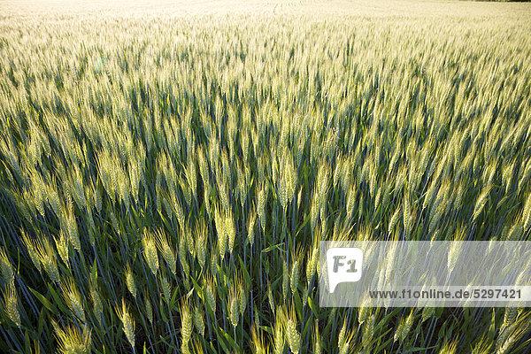 Reifendes Getreide auf einem kleinen Bio-Bauernhof im l‰ndlichen Frankreich  La Creuse  Limousin  Frankreich  Europa
