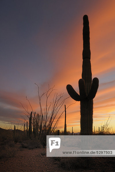 Saguaro oder Sahuaro (Carnegiea gigantea)  Organ Pipe Cactus National Monument Schutzgebiet  Arizona  USA  Amerika