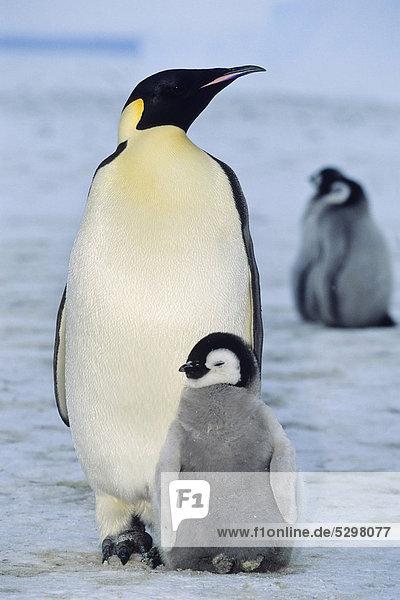 Kaiserpinguin (Aptenodytes forsteri) mit K¸ken  Schelfeis  Eisschelf  Weddellmeer  Antarktis Kaiserpinguin (Aptenodytes forsteri) mit K¸ken, Schelfeis, Eisschelf, Weddellmeer, Antarktis