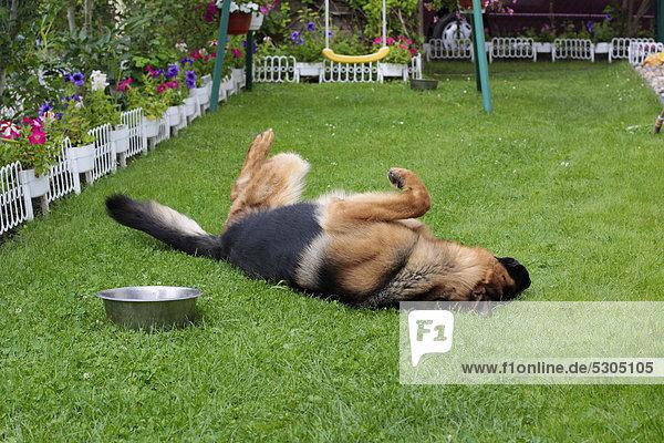 Deutscher Schäferhund spielt  wälzt sich im Garten