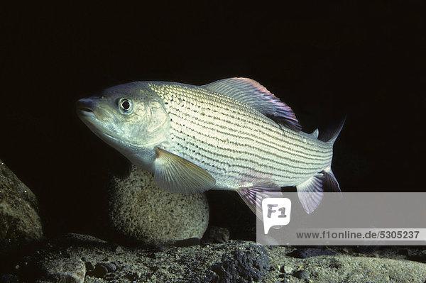 Europäische Äsche (Thymallus thymallus)