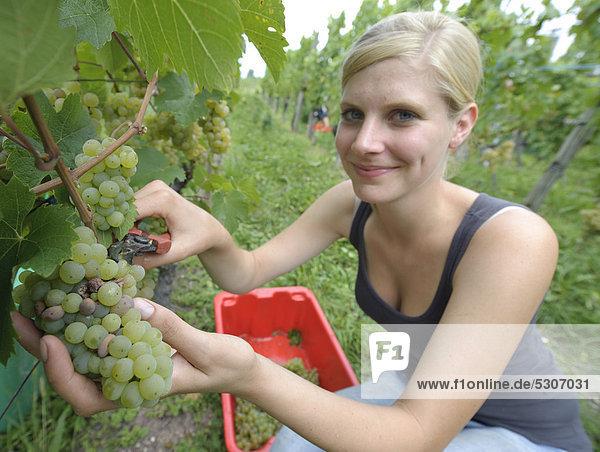 Junge Frau bei der Weinlese  Vorlese  Riesling-Trauben  Uhlbach  Baden-Württemberg  Deutschland  Europa