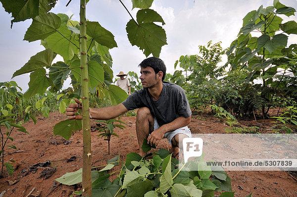 Baum unterhalb Bauer anbauen jung Teamwork Landschaft keimen sauber Brasilien Regenwald Aufforstung Südamerika Mato Grosso