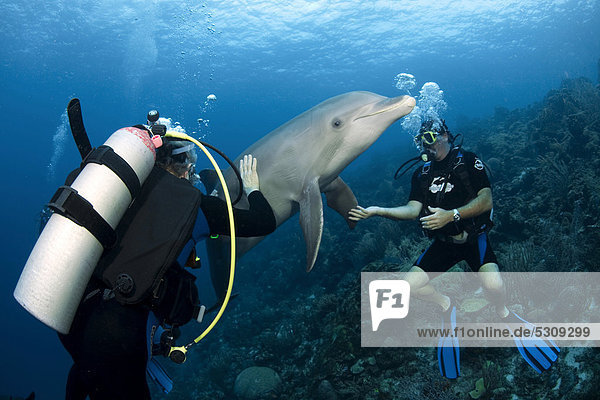 Divers and a Common bottlenose dolphin (Tursiops truncatus)  Sea Aquarium  Dolphin Academy  Curacao  former Netherlands Antilles  Caribbean