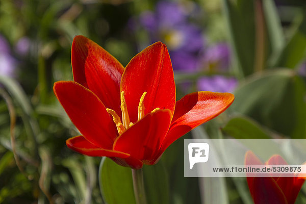Rote Tulpe (Tulipa spec.) im Garten  Frühling  Deutschland  Europa Rote Tulpe (Tulipa spec.) im Garten, Frühling, Deutschland, Europa