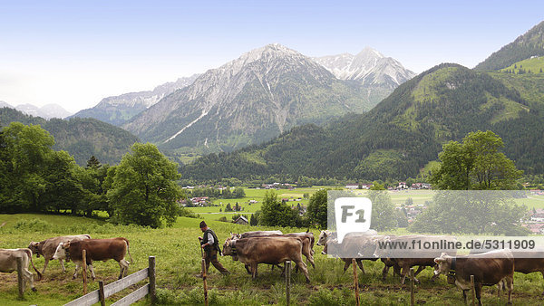 Herdsman on mountain pasture bringing home cattle herd  Bad Hindelang  Allgaeu  Bavaria  Germany  Europe