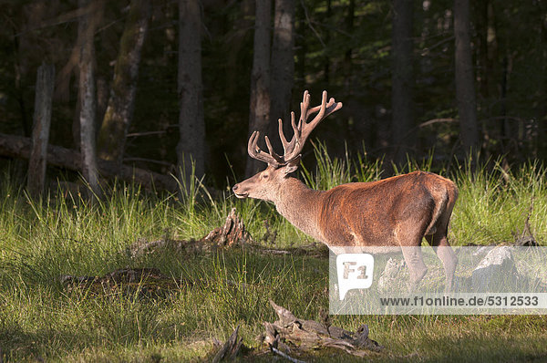 Red Deer (Cervus elaphus)  stag  Bavarian Forest National Park  Bavaria  Germany  Europe