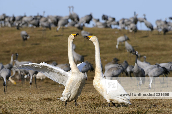 Whooper swans (Cygnus cygnus)  courting breeding pair  and cranes (Grus grus)  Hornborgasjoen  Vaestergoetland  Sweden  Scandinavia  Europe