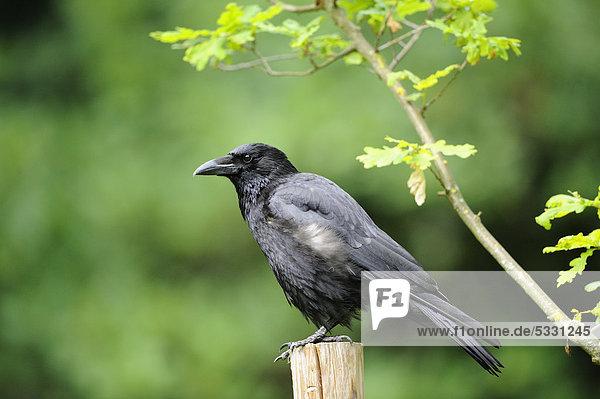 Aaskrähe (Corvus corone) auf einem Pfahl