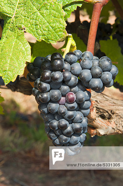 Tannat Weintrauben  Bouza Weinkellerei  Montevideo  Uruguay  Südamerika