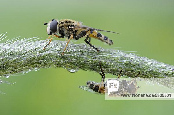 Schwebfliegen (Syrphidae)  Biosphärenreservat Mittlere Elbe  Dessau  Deutschland  Europa
