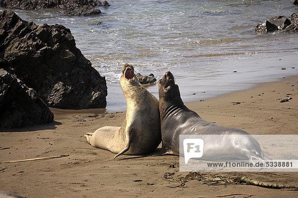 Nördlicher Seeelefant (Mirounga angustirostris)  junge Bullen am Strand  Piedra Blancas  Kalifornien  USA