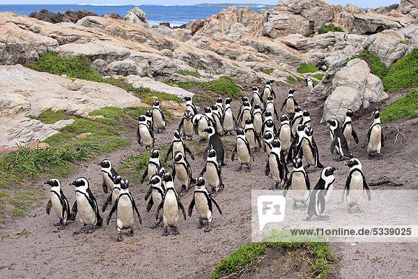 Brillenpinguine (Spheniscus demersus)  Gruppe  Strand  Betty's Bay  Südafrika  Afrika