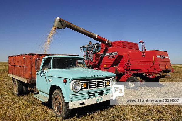 Mähdrescher füllt Getreide auf einen Lastwagen  Saskatchewan  Kanada
