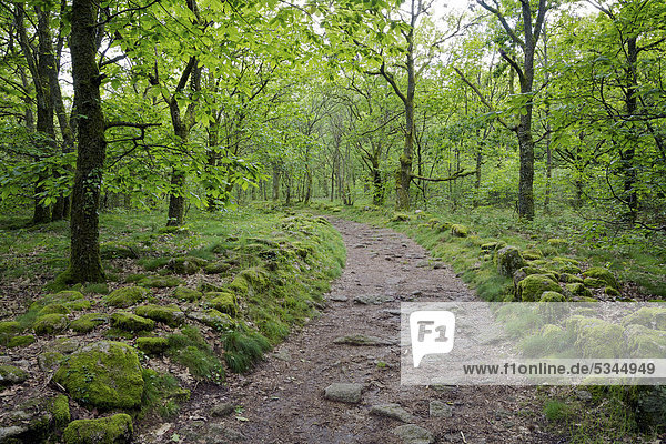 Curve in a dirt trail through a hardwood forest near Toulx-Sainte-Croix  La Creuse  Limousin  France  Europe