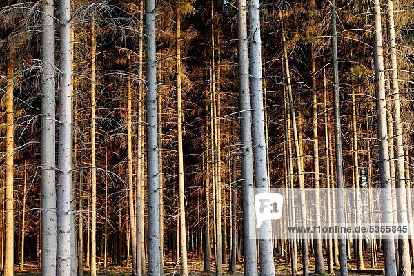 Evening sun colors tree trunks. Netherlands