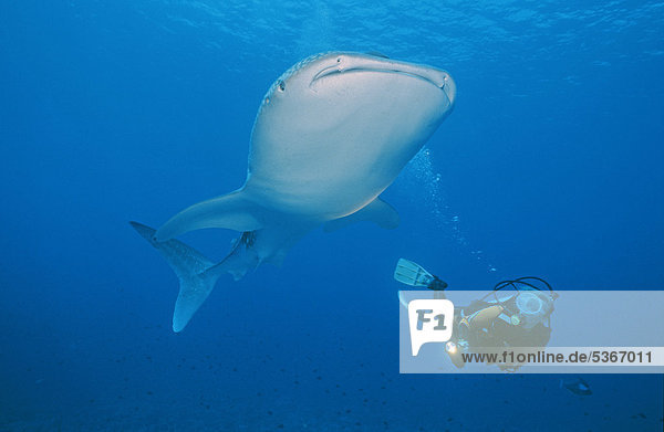 Scuba diver and Whale Shark (Rhincodon typus)  largest fish in the world  Maldives  Indian ocean  Asia