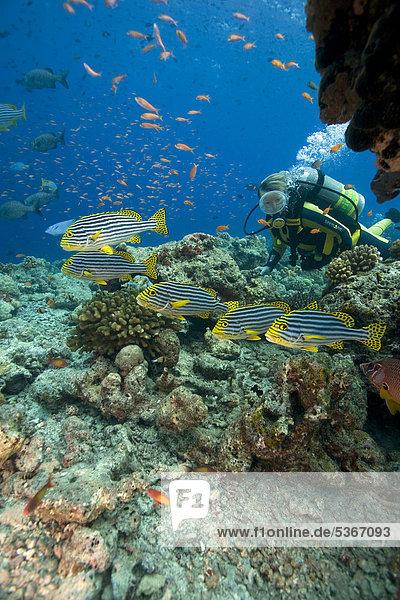 Scuba diver watching a shoal of Oriental sweetlips (Plectorhinchus vittatus)  anthias at back  Maldives  Indian Ocean  Asia