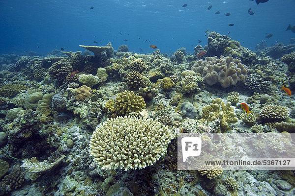 Korallenriff mit überwiegend Hartkorallen  Tischkoralle (Acropora clathrata)  Robuste Geweihkoralle (Acropora robusta)  Malediven  Indischer Ozean  Asien